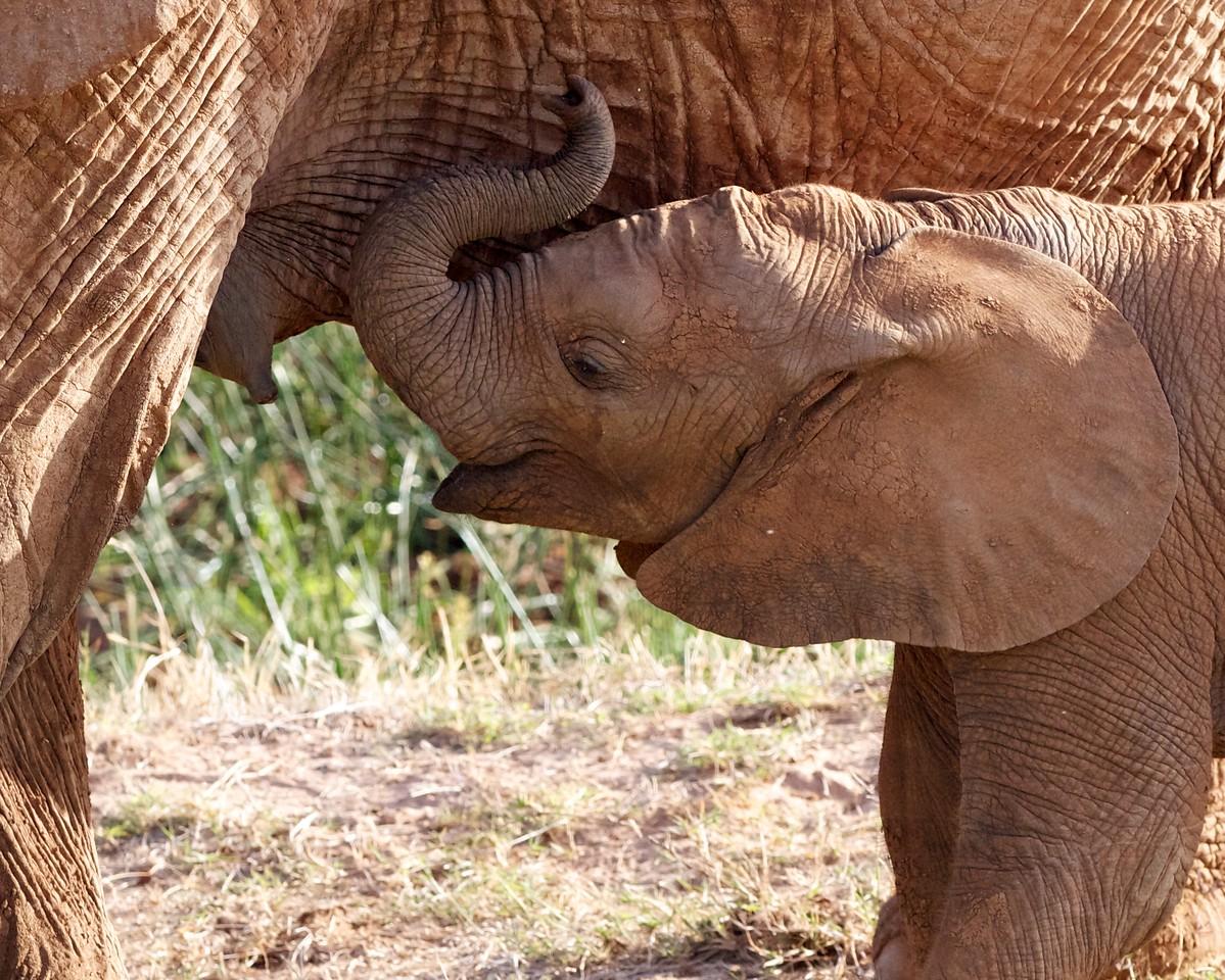 Elephant calf, Samburu, Kenya