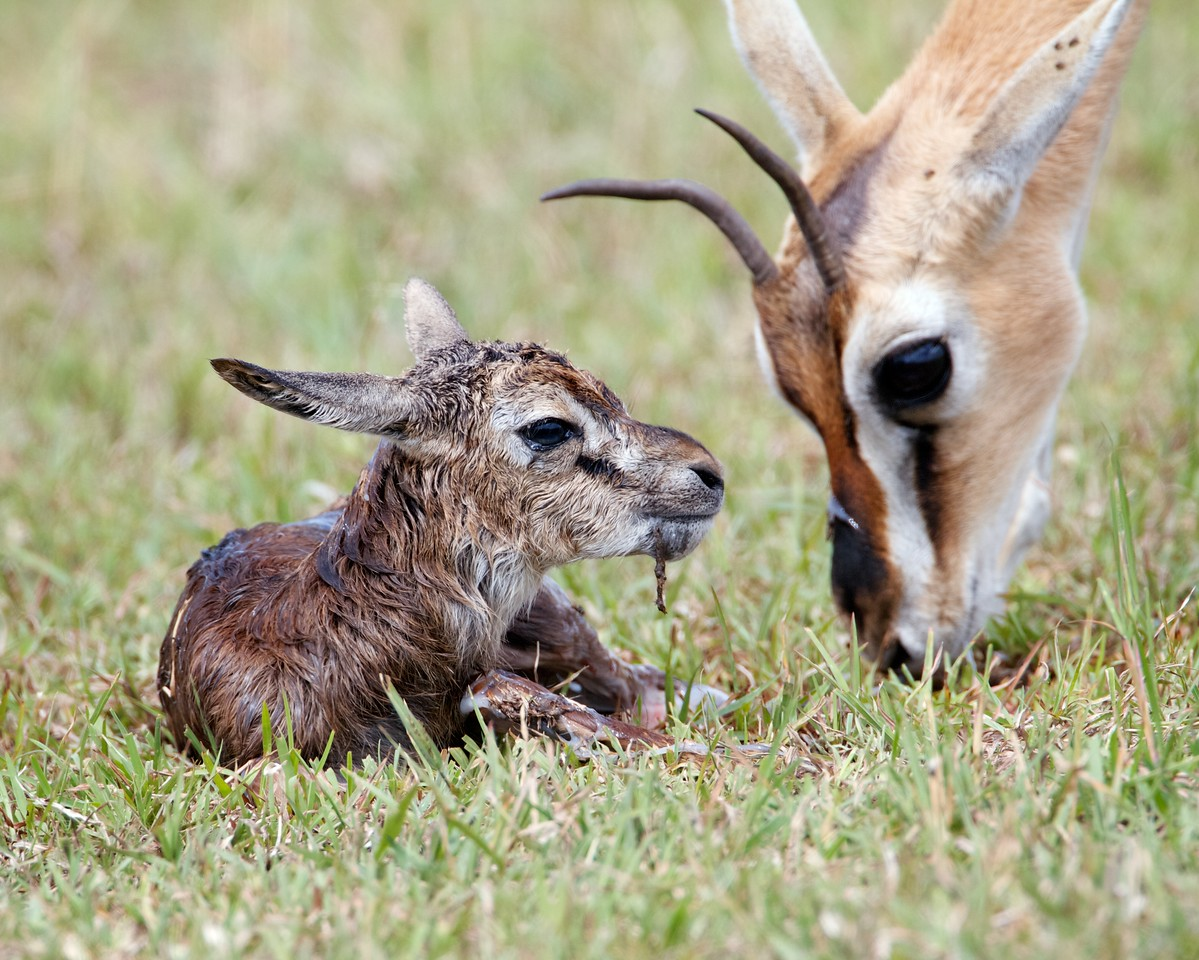 Baby Thomson's gazelle, about one minute old, Masai Mara, Kenya