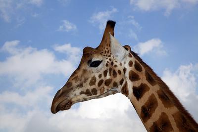 Giraffe, Giraffe Manor, Nairobi