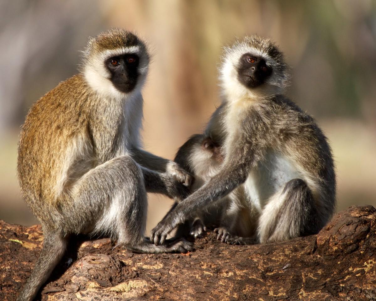 Vervet family grooming, Lewa, Kenya