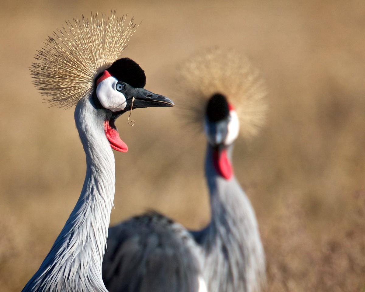 Grey-crowned crane, Tanzania