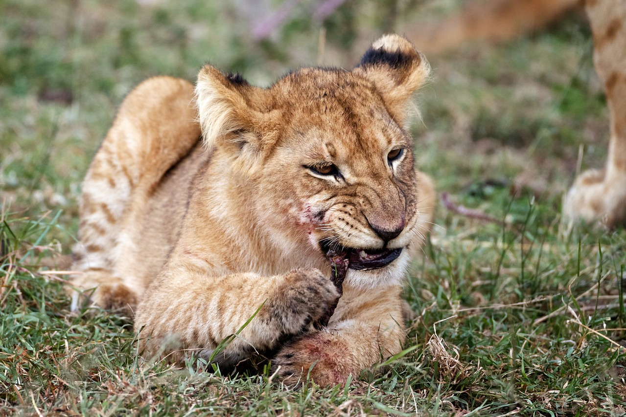 Lion cub chewing on gazelle, Masai Mara, Kenya