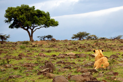 Lioness waits to hunt, Masai Mara, Kenya