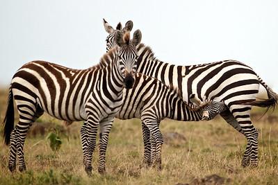 Hidden zebra, Masai Mara, Kenya
