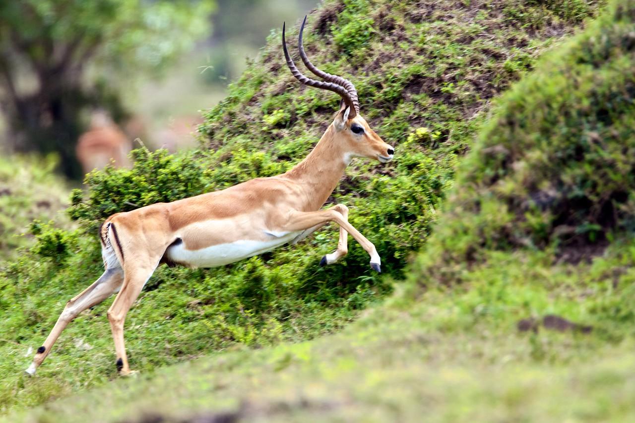 Grant's gazelle, Masai Mara, Kenya