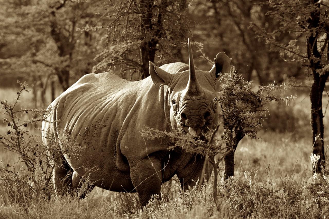 Rhino, Lewa, Kenya