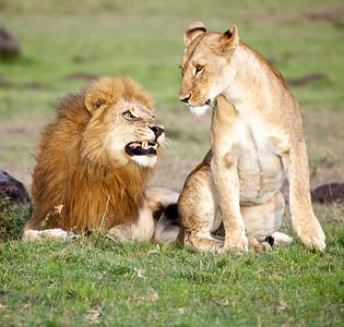 The look of love, Masai Mara, Kenya