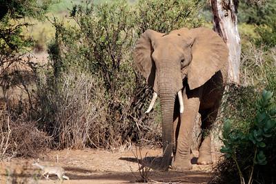 Elephant and dik-dik, Samburu, Kenya