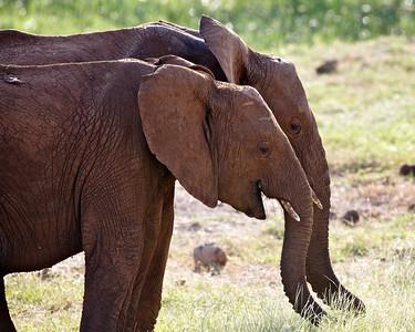 Paired Elephants, Samburu, Kenya