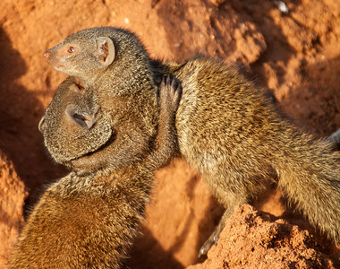 Two mongooses wrestle. (Mongeese?)