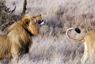 Lion sniffing, Masai Mara, Kenya