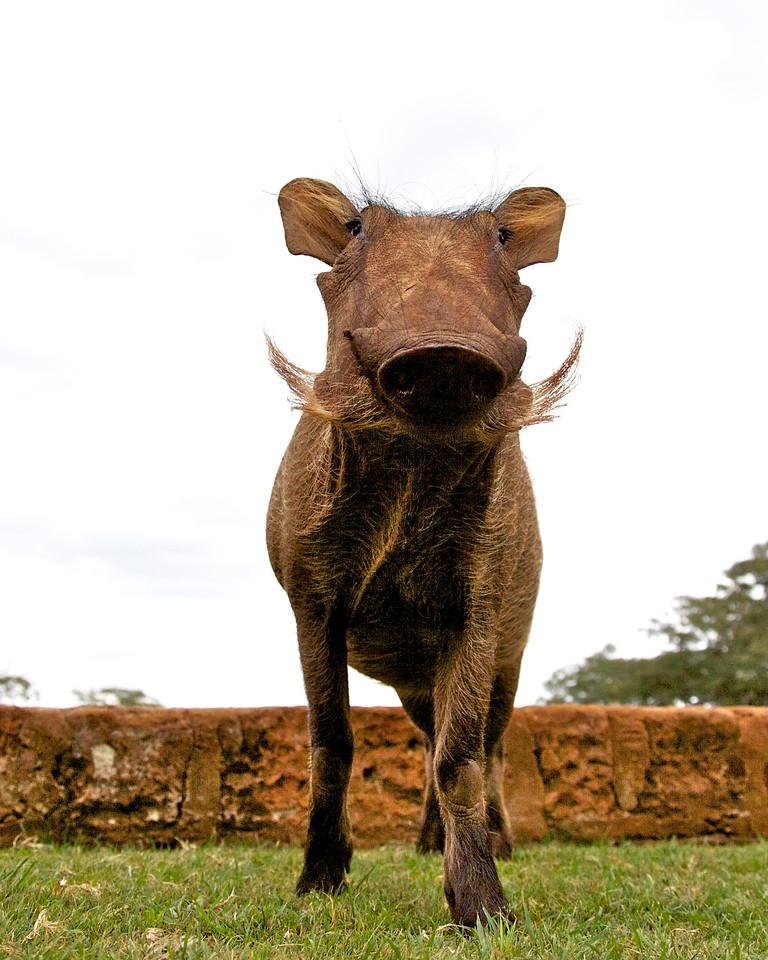 Warthog, Giraffe Manor, Nairobi