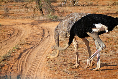 Paired Ostriches, Samburu, Kenya