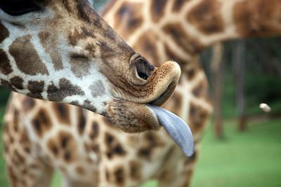 Giraffe pellet in flight