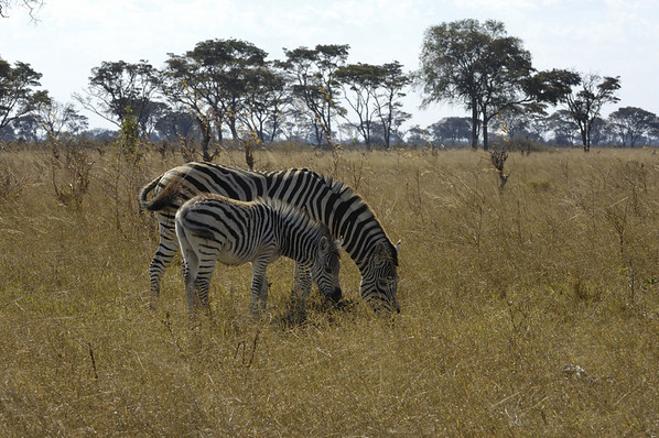 Zebra, tails right
