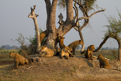 Tsaro pride family portrait - both lionesses and all six cubs