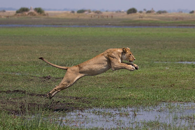 Tsaro lioness avoiding potential menaces in the water