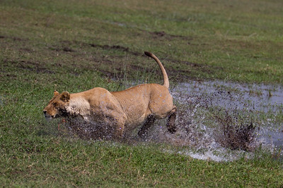 Tsaro lioness launches attack on red lechwe