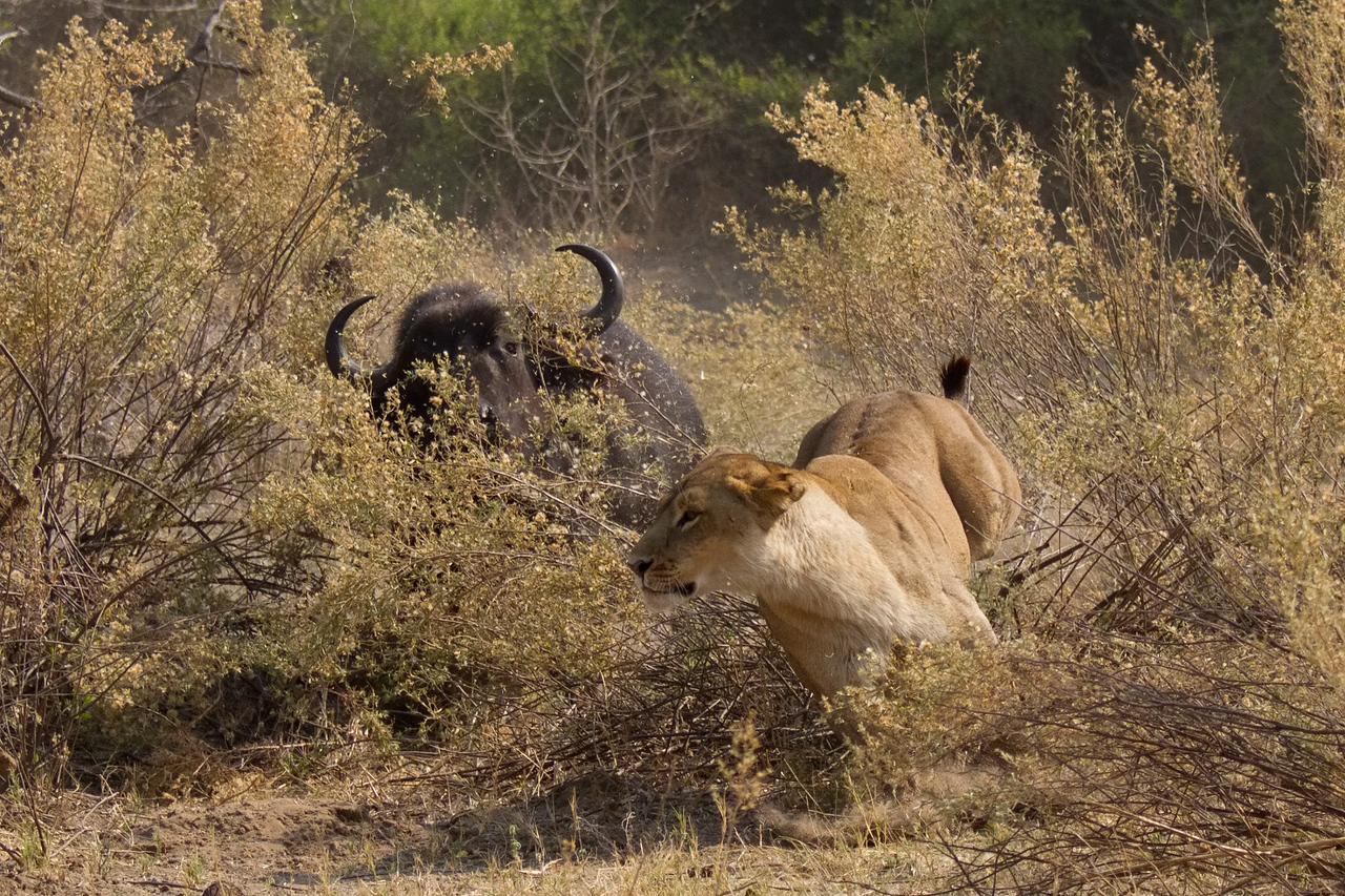Cape buffalo surprises a Tsaro lioness