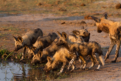 LTC pack pups warily drinking while watching for crocs
