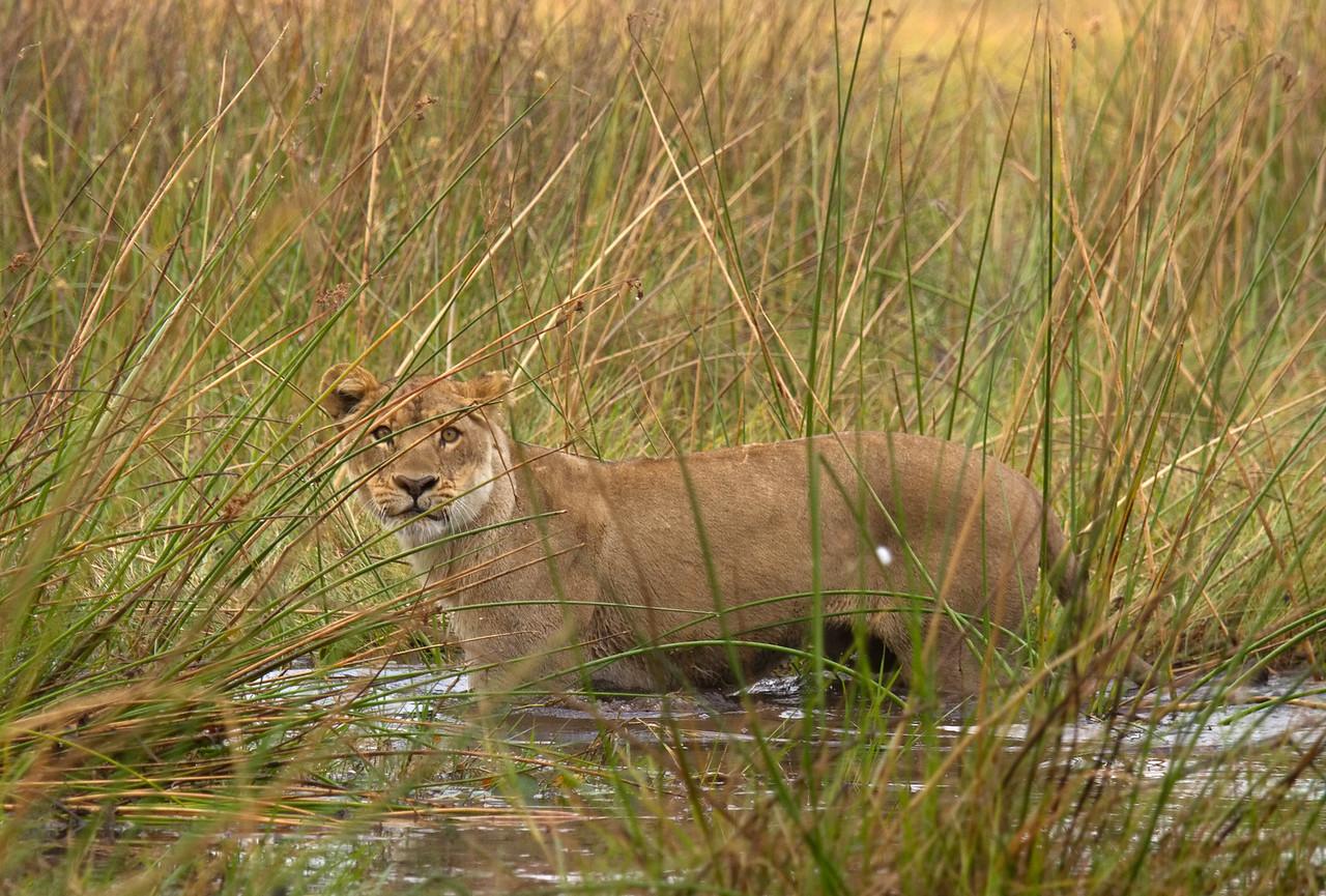 Swamp cat of Duba
