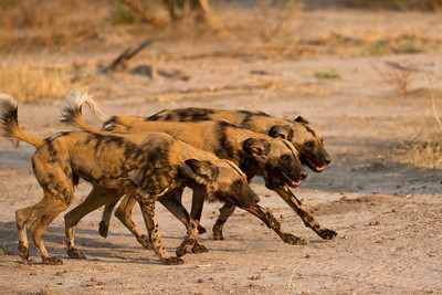 African hunting dogs organizing for the evening hunt