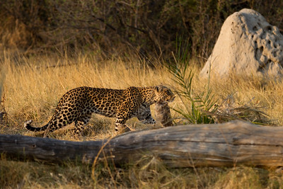 Pula stalking her prey
