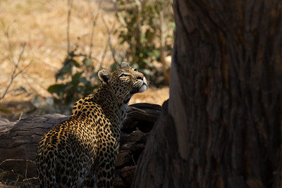 Unknown leopard