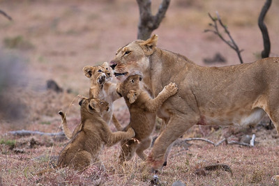 Cubs greet their returning mother
