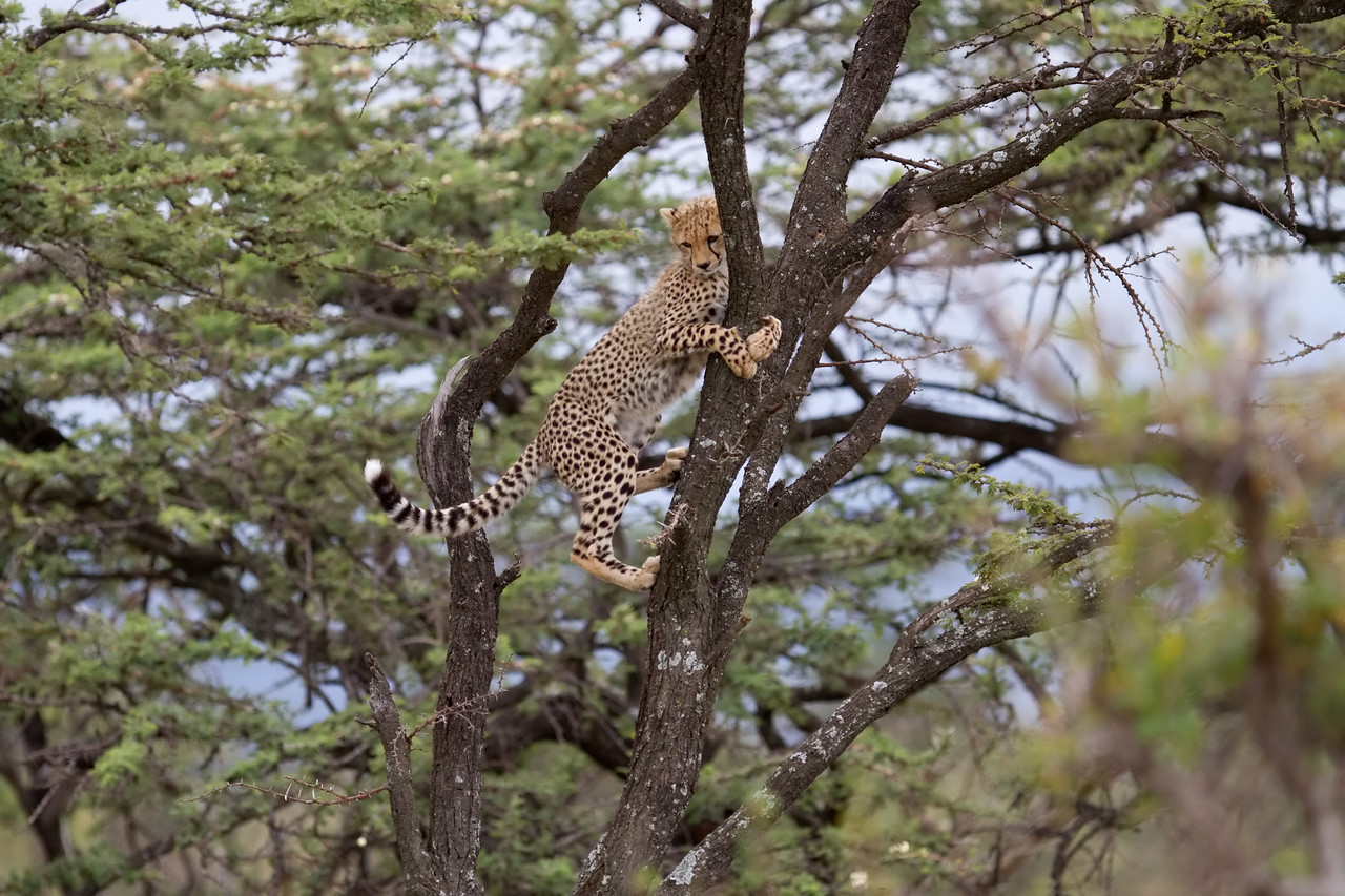 Tree climbing cheetah