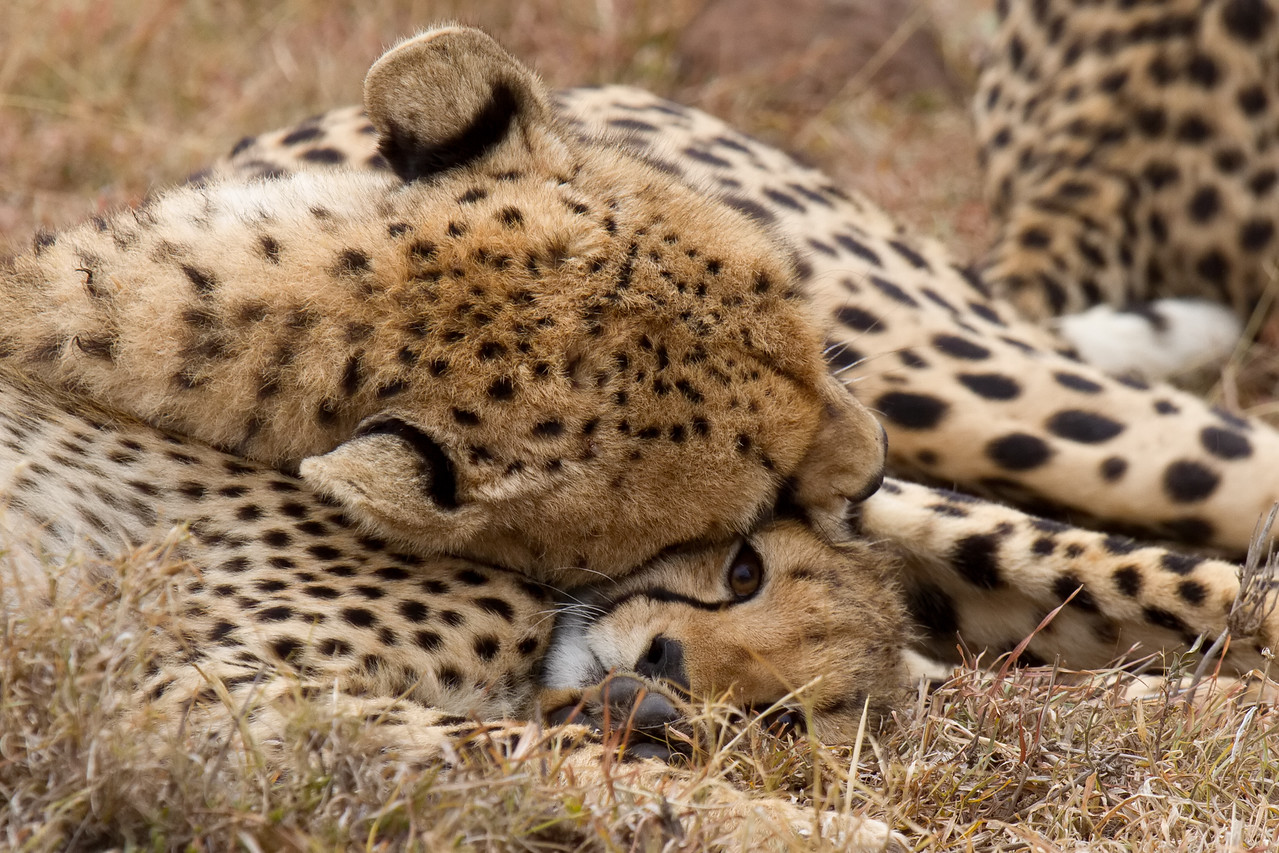 Nabor snuggles one her cubs