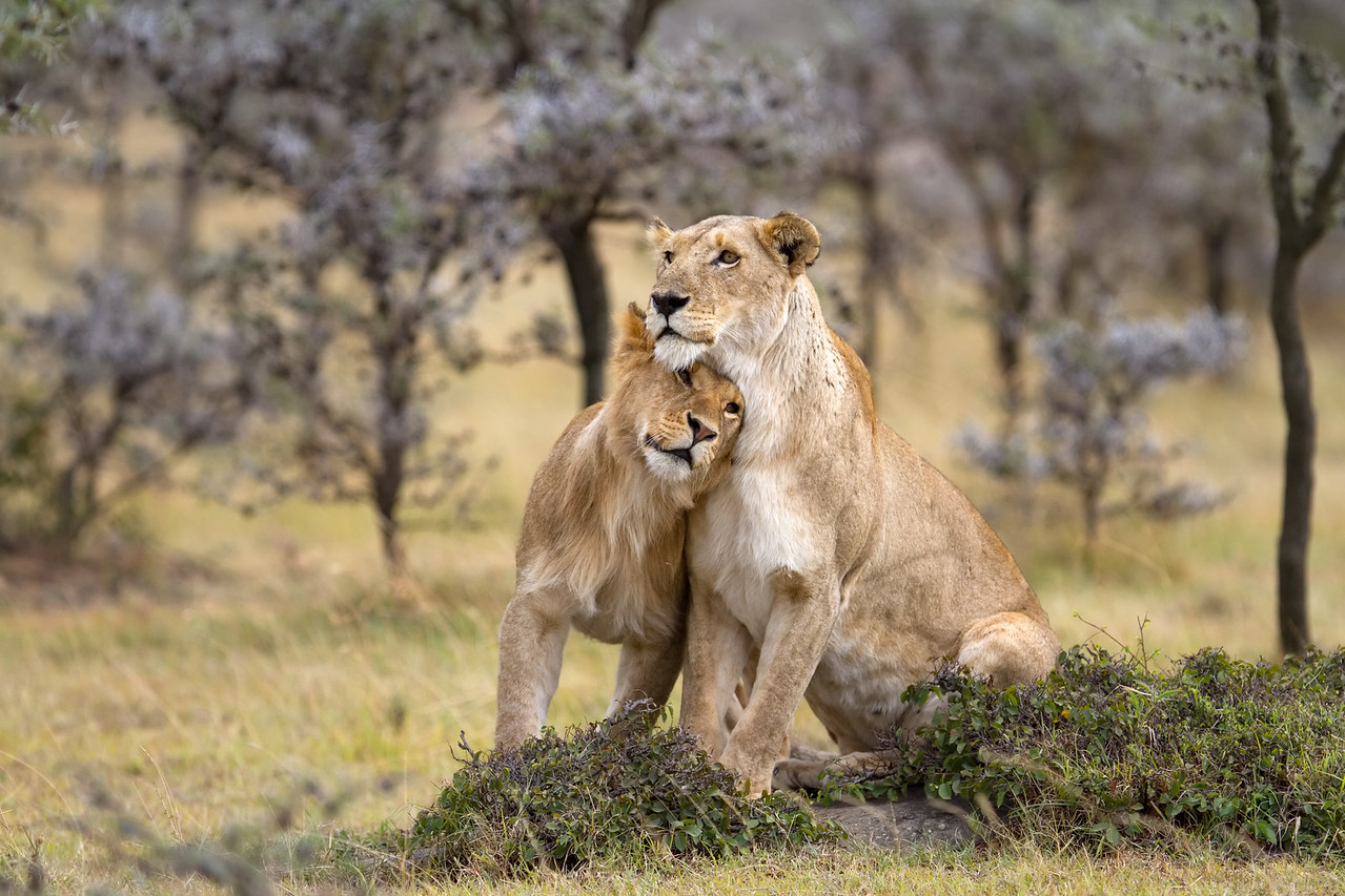 Enesikiria pride break-away group; Sarah and loving sub-adult male
