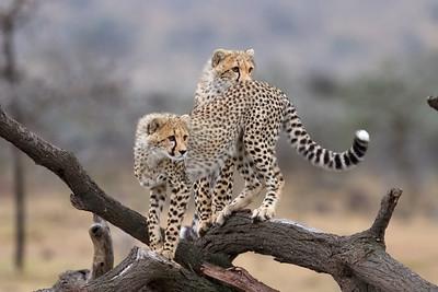 Nabor's cubs at play