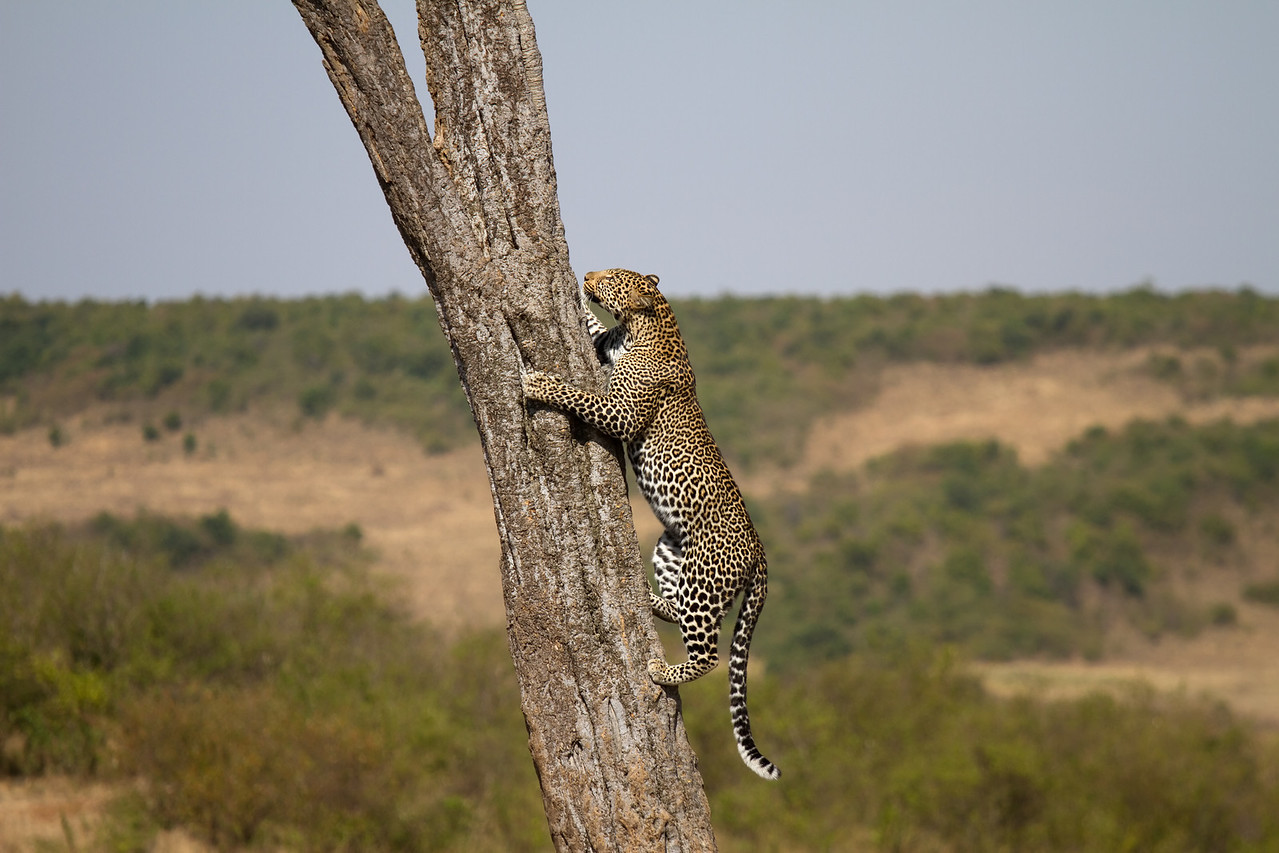 Leopard returning to his kill