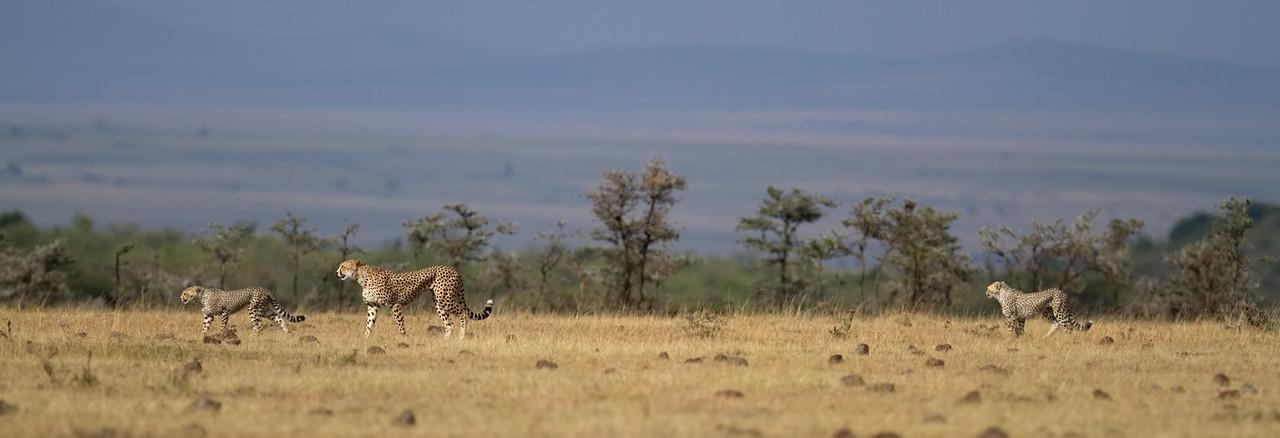 Cheetah family prowling the plains