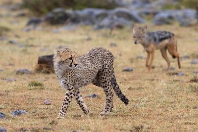 Cheetah cub followed by annoying black-backed jackal