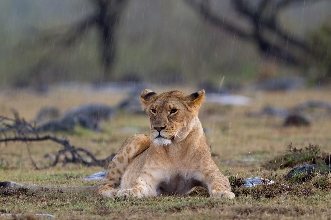 Enesikiria pride sub-adult not happy about the rain