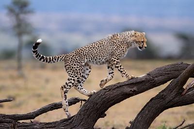 Cheetah cub at play