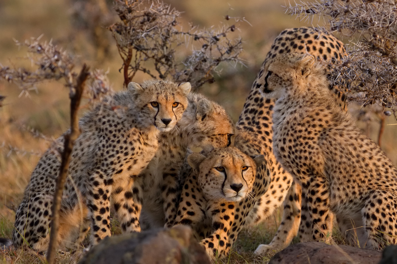 Cheetah family stretches and starts the day