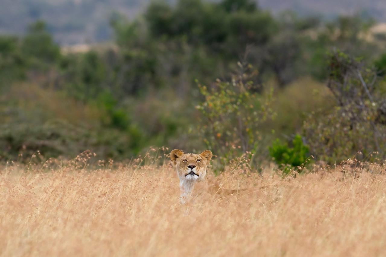 Stalking impala