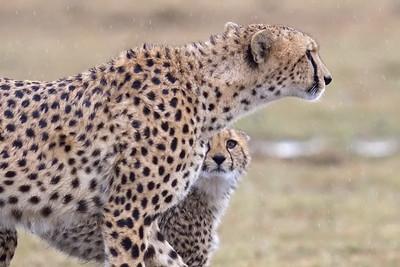 Nabor and an adoring cub