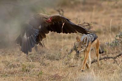 Black-backed jackal chases tawny eagle
