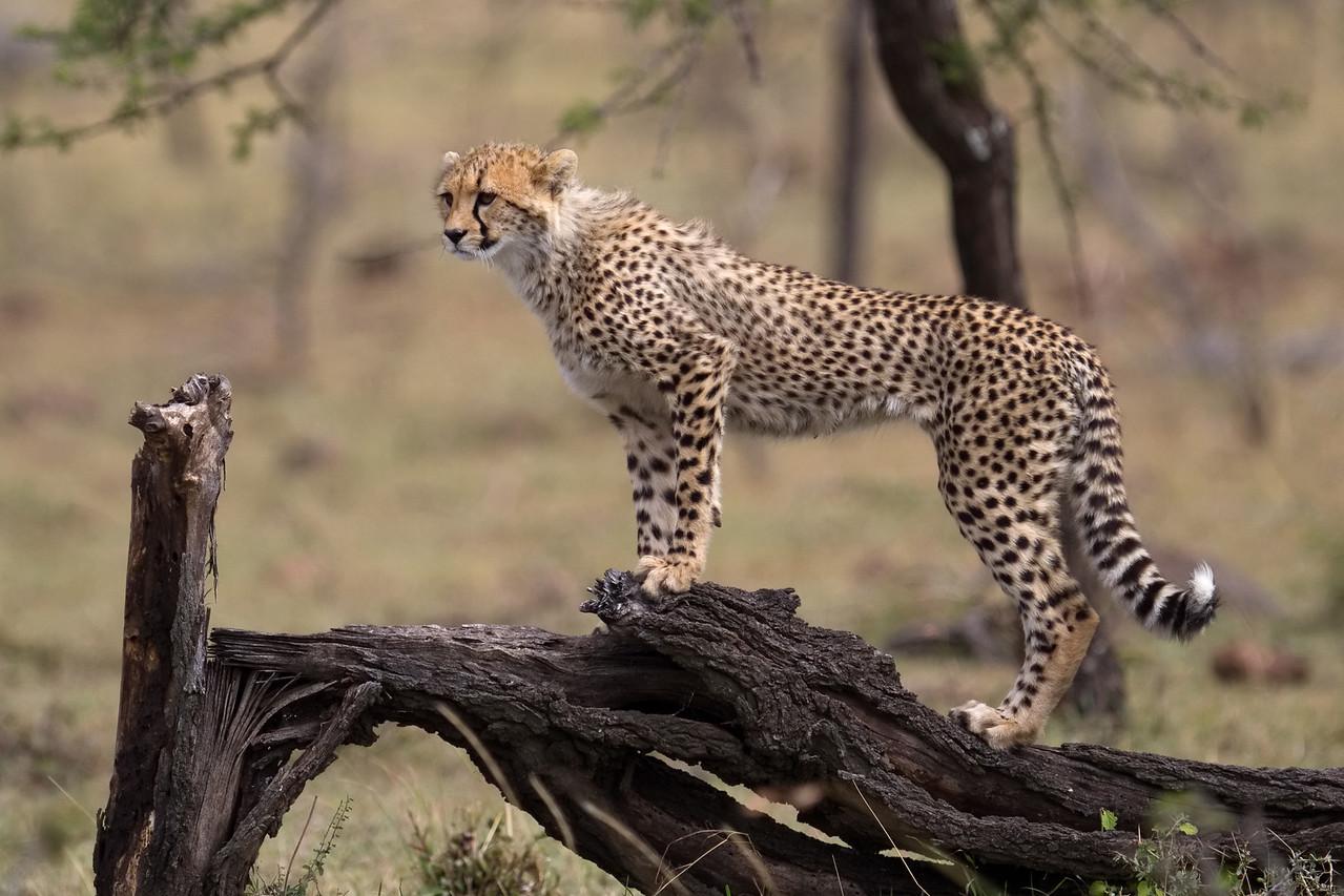 Cheetah cub wants to play