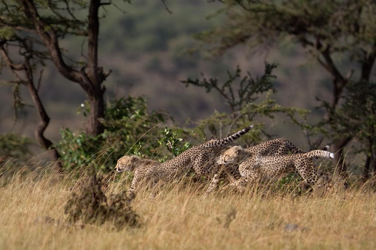 Three cheetah cubs on the move