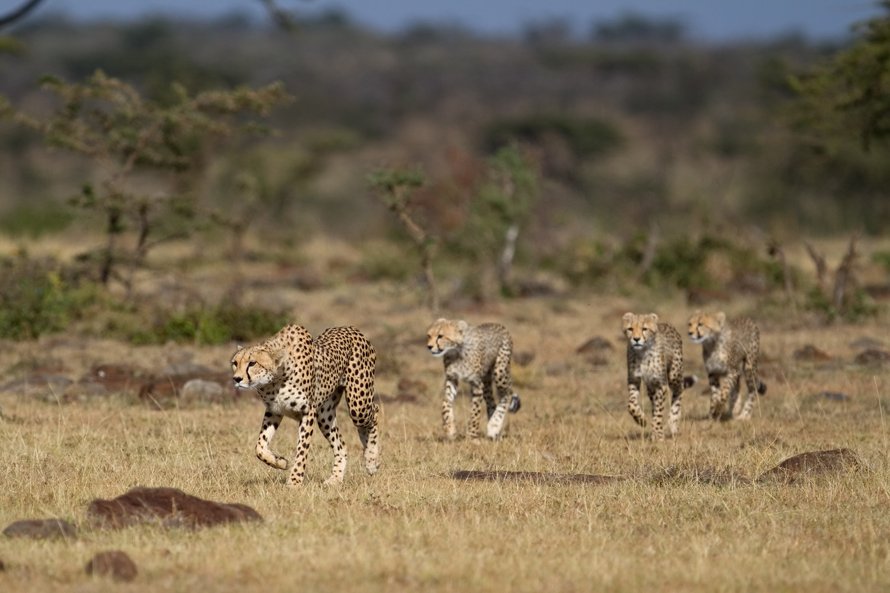 Nabor's cubs follow as she starts to stalk