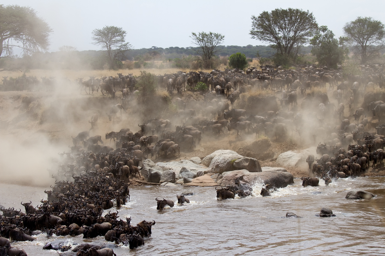 Great migration crosses the Mara River