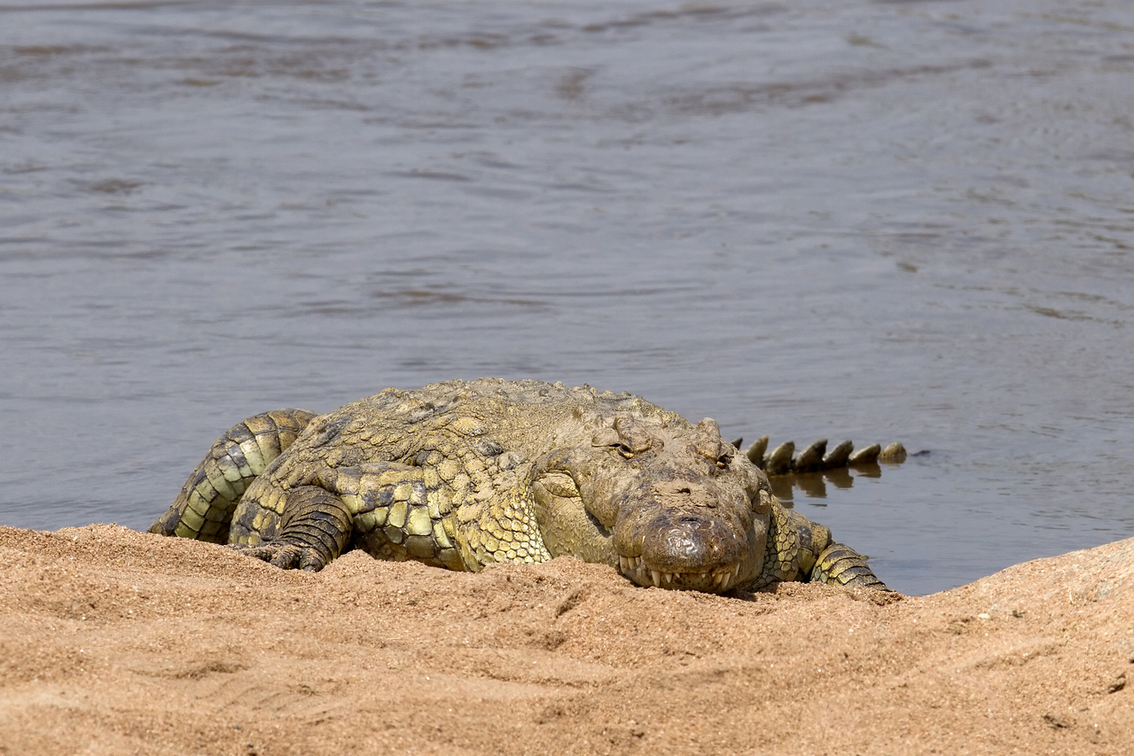 Monster croc on the Mara River