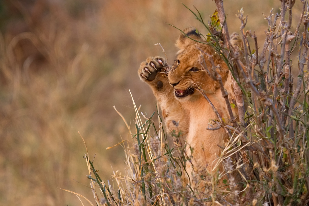 Lion cub playing while the lionesses are away