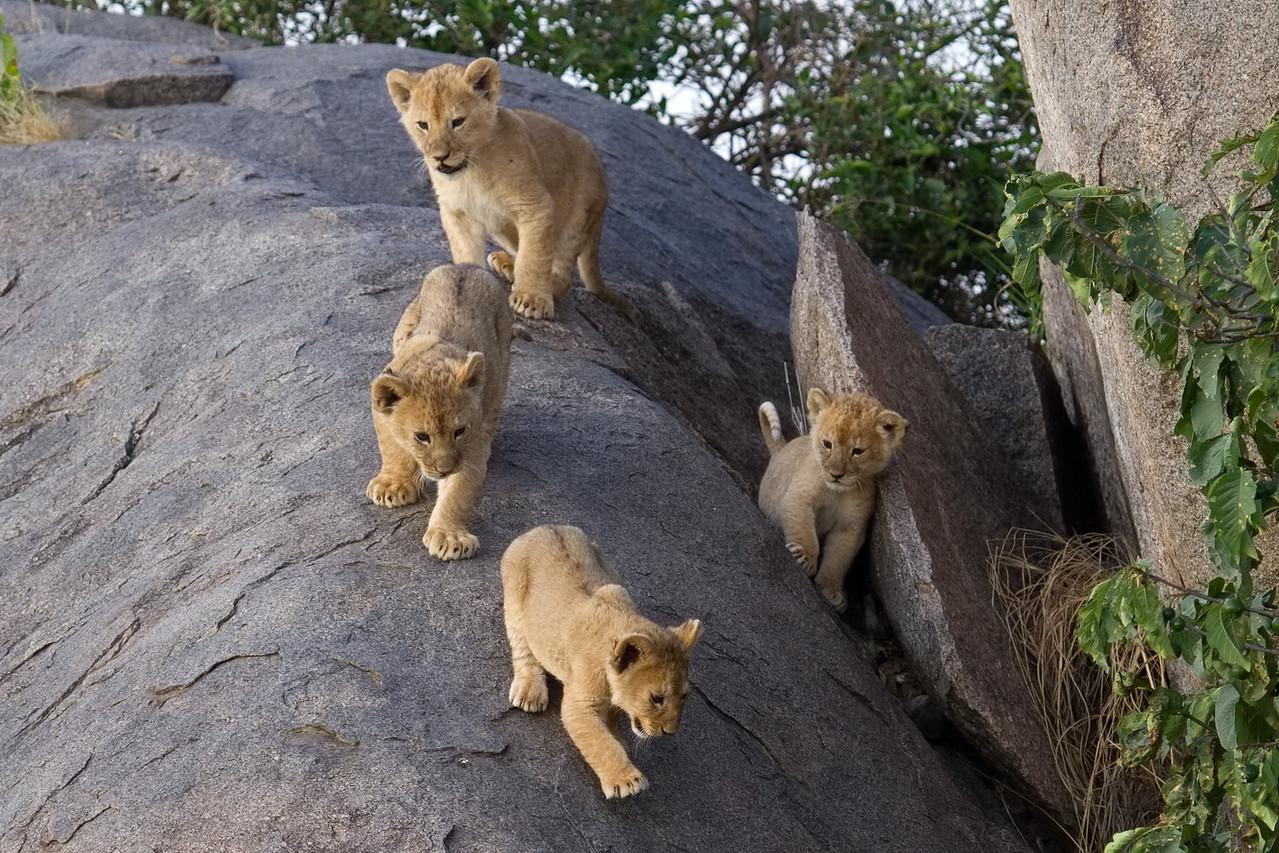 Lion cubs descending a kopje