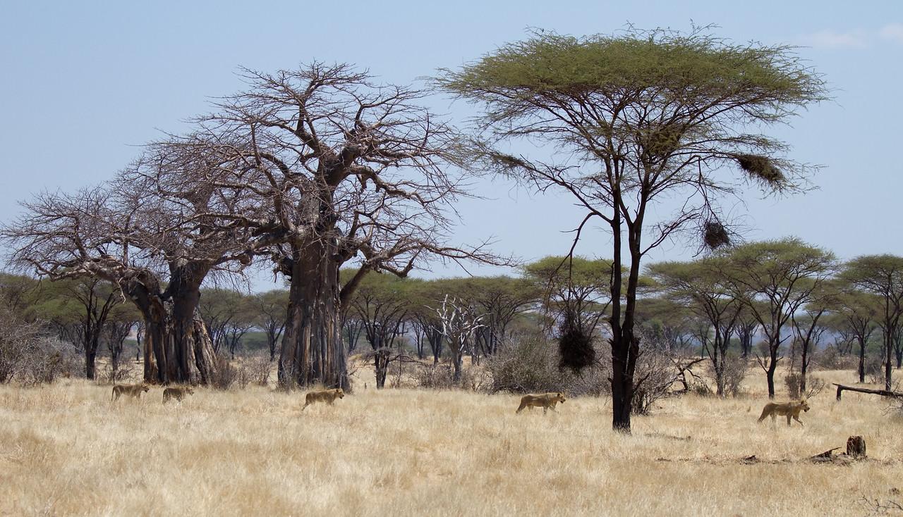 Lion pride hunting buffalo